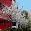 2. Kirschblütenfest auf dem oberen Boulevard in Halle