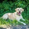Labradorakel Jello wieder am Werk - Tipp Deutschland gegen Mexico