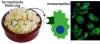 Bakterien in fermentierten Lebensmitteln interagieren mit unserem Immunsystem