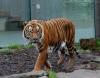 """Tiger """"Sompon"""" aus dem halleschen Zoo verstorben"""